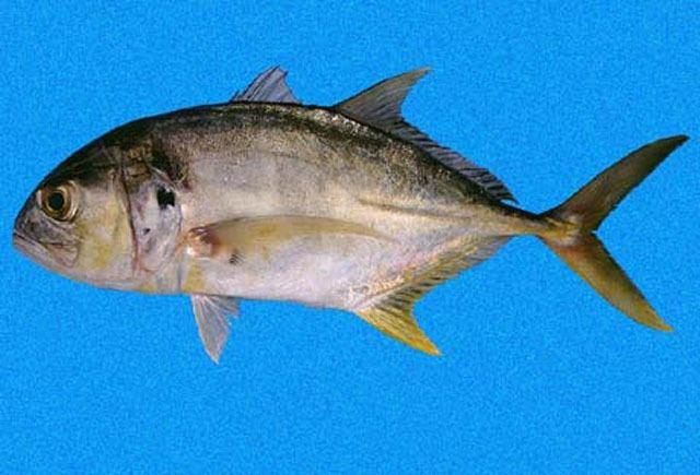 Caranx Fish Identification