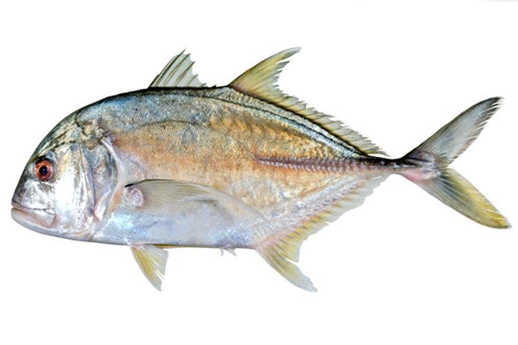Caranx fishesofaustralianetauImagesImageCaranxIgnobi