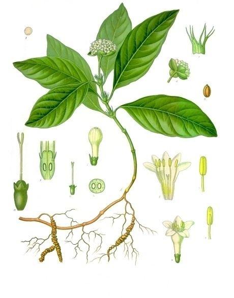 Carapichea ipecacuanha Carapichea ipecacuanha Wikipedia