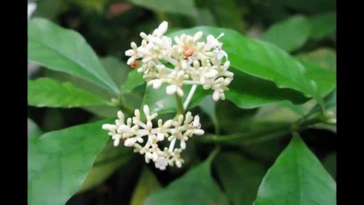 Carapichea ipecacuanha Cephaelis ipecacuanha YouTube
