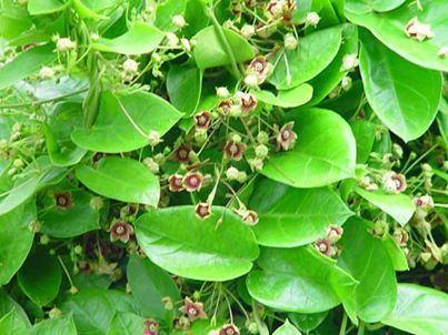 Carapichea ipecacuanha Ipecacuanha Images Video Information