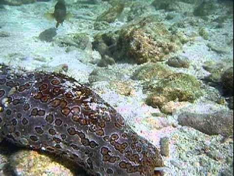 Carapus Pinhead pearlfish Carapus boraborensis YouTube