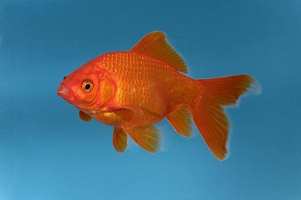 Carassius Goldfish Carassius Auratus In Aquarium Photograph by Konrad Wothe