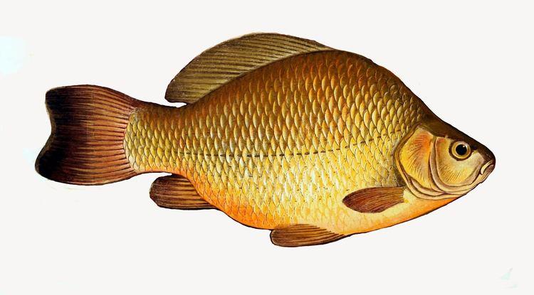 Carassius FileCarassius carassius1jpg Wikimedia Commons