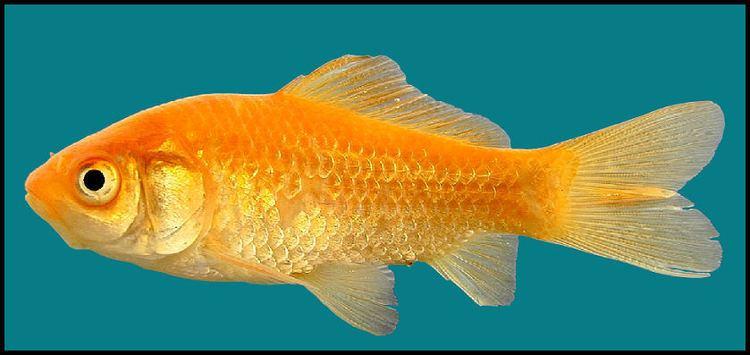 Carassius goldfish Carassius auratus