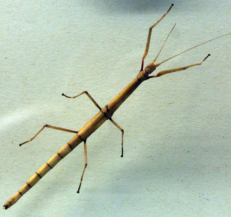 Carausius morosus Week in Geek Walking stick edition MSNBC