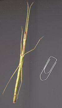 Carausius morosus httpsuploadwikimediaorgwikipediacommonsthu
