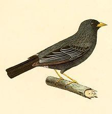 Carbonated sierra finch httpsuploadwikimediaorgwikipediacommonsthu