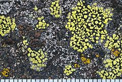 Carbonea httpsuploadwikimediaorgwikipediacommonsthu