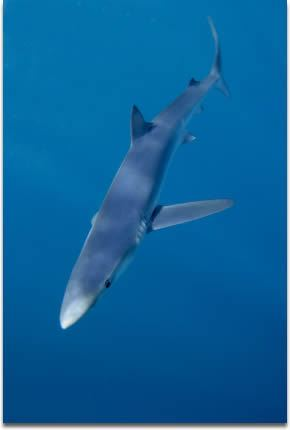 Carcharhiniformes Sharks Carcharhiniformes
