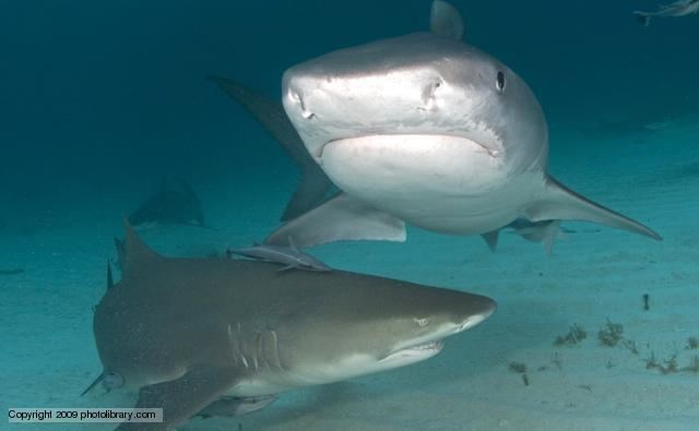 Carcharhiniformes BBC Nature Ground sharks videos news and facts