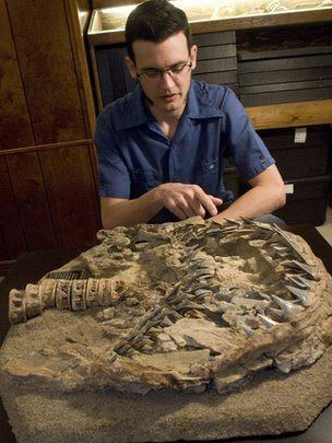 Carcharodon hubbelli Transitional Fossil of Great White Sharks C hubbelli Found