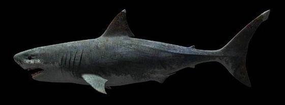 Carcharodon hubbelli Great whites 39not evolved from megashark39 BBC News