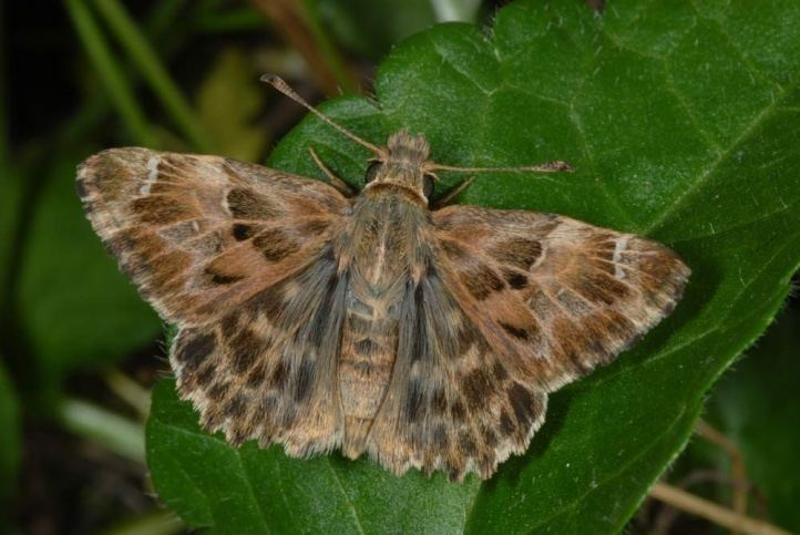 Carcharodus European Lepidoptera and their ecology Carcharodus alceae