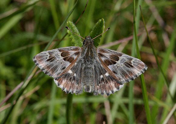 Carcharodus Butterflies of Europe Carcharodus flocciferus