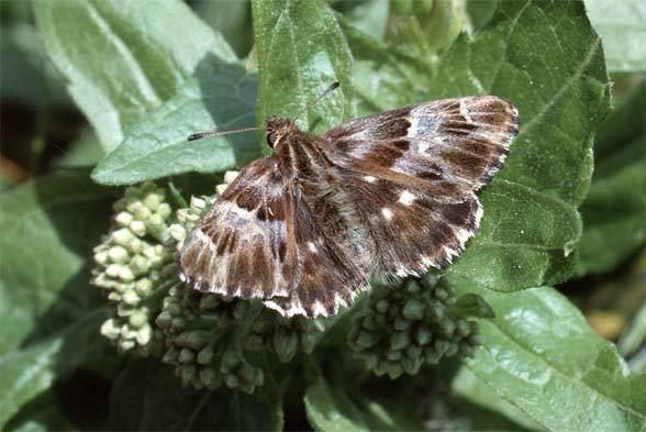 Carcharodus European Lepidoptera and their ecology Carcharodus flocciferus