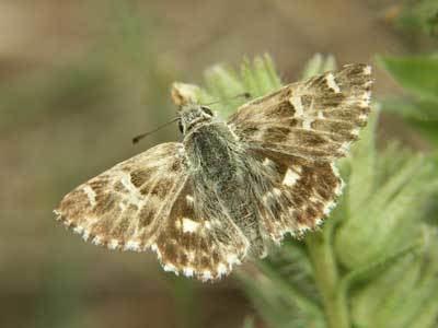 Carcharodus Carcharodus stauderi on euroButterflies by Matt Rowlings