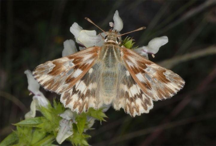 Carcharodus lavatherae European Lepidoptera and their ecology Carcharodus lavatherae