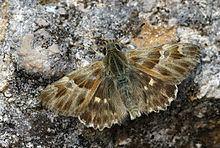 Carcharodus orientalis httpsuploadwikimediaorgwikipediacommonsthu