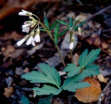 Cardamine angustata Digital Atlas of the Virginia Flora Cardamine angustata O E Schulz