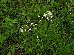 Cardamine bulbosa Cardamine bulbosa Wikibooks open books for an open world
