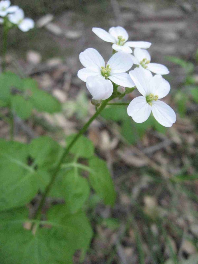 Cardamine californica Plant of the Month