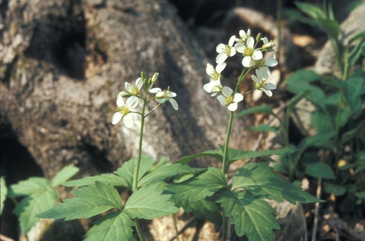 Cardamine diphylla Cardamine diphylla twoleaved toothwort Go Botany