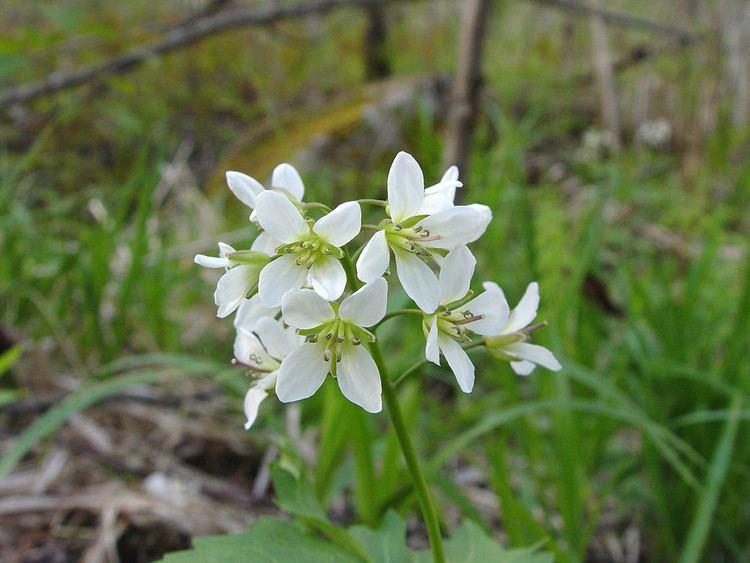 Cardamine diphylla httpsnewfss3amazonawscomtaxonimages1000s1