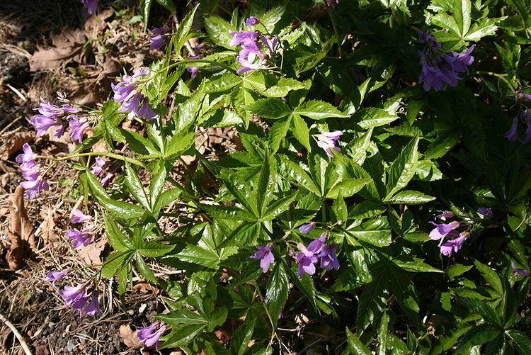 Cardamine pentaphyllos Cardamine pentaphyllos PFAF Plant Database