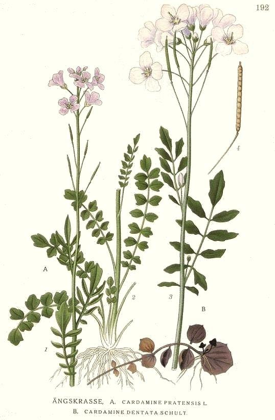 Cardamine pratensis Cardamine pratensis Cuckoo flower Alpine bittercress