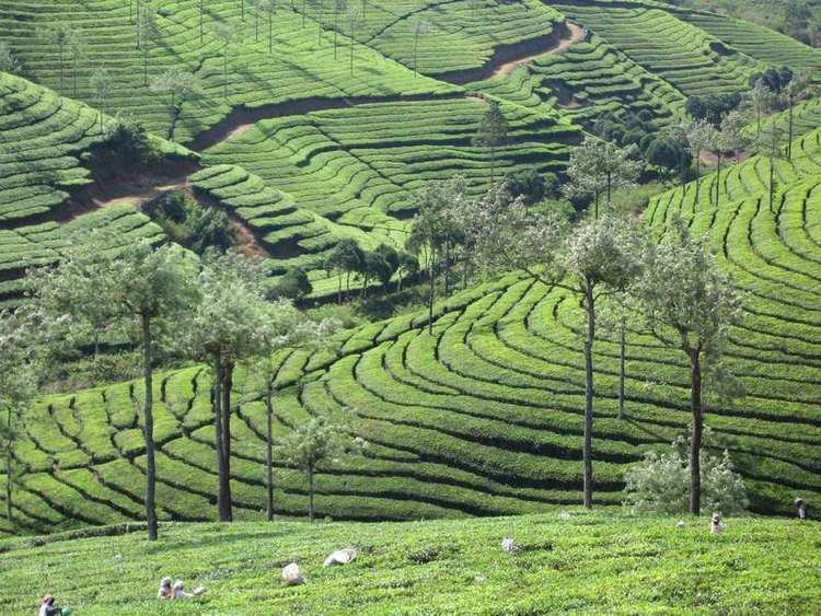 Cardamom Hills Cardamom Hills tea plantation India Travel Forum Photo Gallery