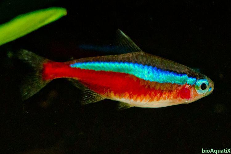 Cardinal tetra Freshwater Tropical Fish Cardinal Tetra