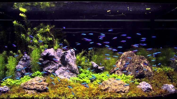 Cardinal tetra 100 cardinal tetra in an aquascaping tank YouTube