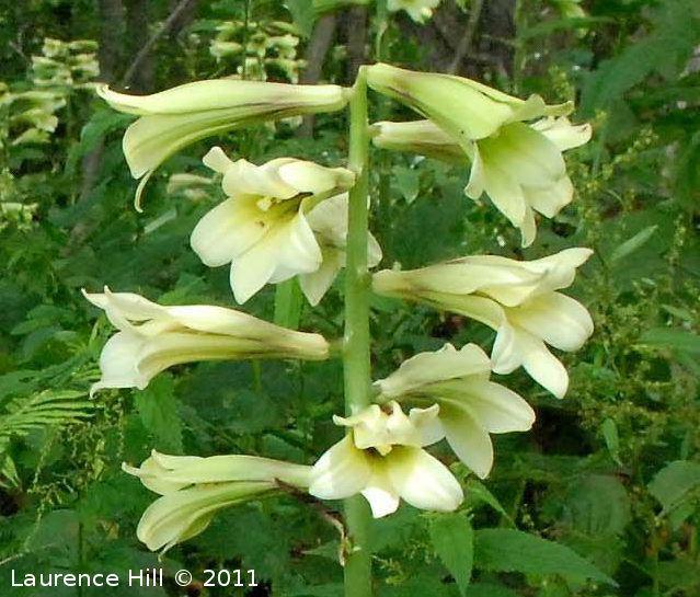 Cardiocrinum cordatum Pacific Bulb Society Cardiocrinum