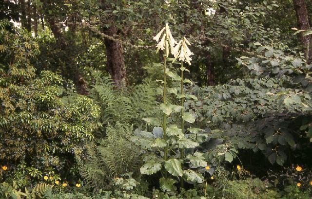 Cardiocrinum giganteum Pacific Bulb Society Cardiocrinum