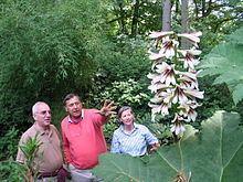 Cardiocrinum giganteum Cardiocrinum giganteum Wikipedia