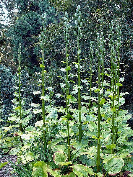 Cardiocrinum giganteum Cardiocrinum giganteum PFAF Plant Database