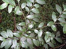 Cardiopteridaceae httpsuploadwikimediaorgwikipediacommonsthu