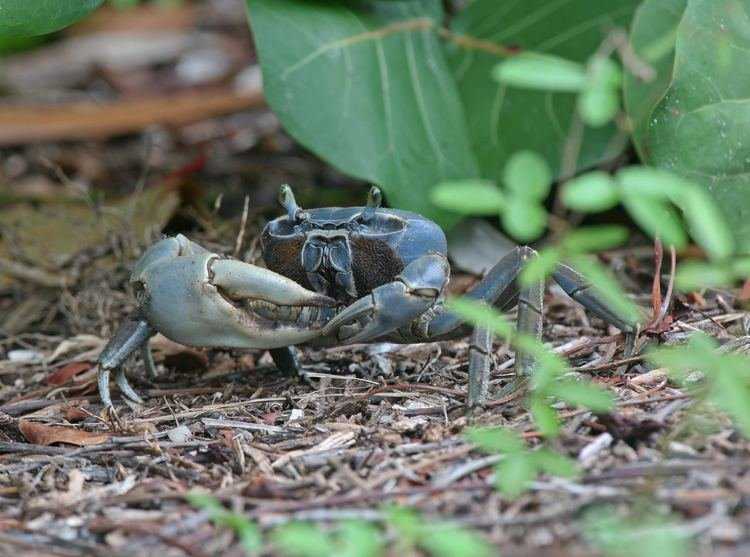 Cardisoma FileBlue Land Crab Cardisoma Guanhumijpg Wikimedia Commons