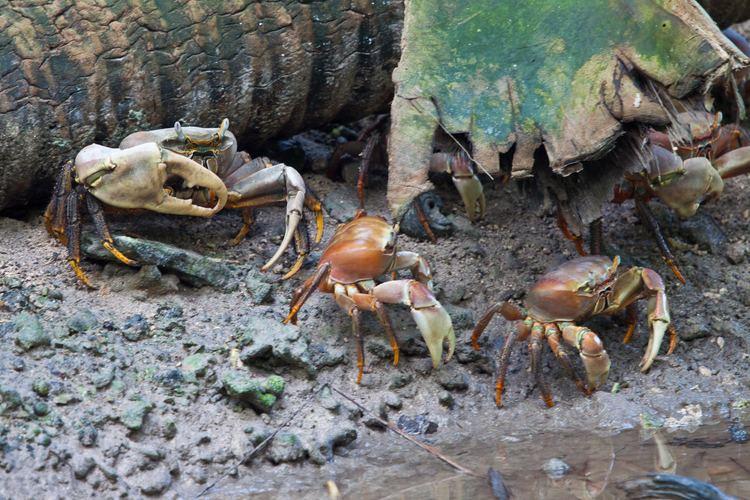 Cardisoma Cardisoma carnifex crabs c Island Conservation Protect Palmyra