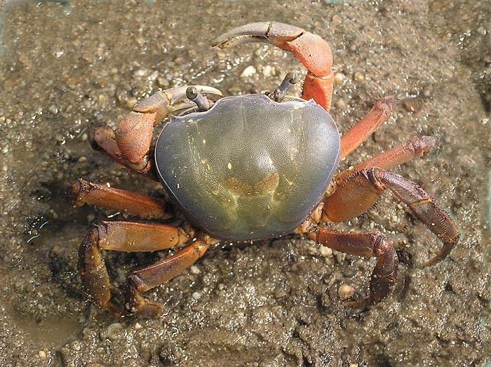 Cardisoma Cardisoma armatum African Rainbow Crab Image BioLibcz