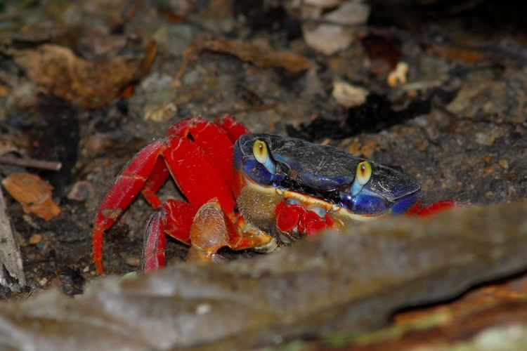 Cardisoma crassum Land Crab Cardisoma crassum Manuel Antonio National Park Flickr