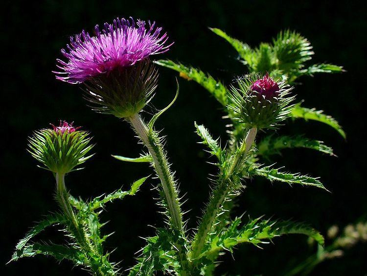 Carduus Carduus crispus Welted Thistle Curly plumeless thistle PFAF Plant