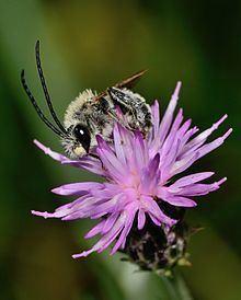 Carduus argentatus httpsuploadwikimediaorgwikipediacommonsthu
