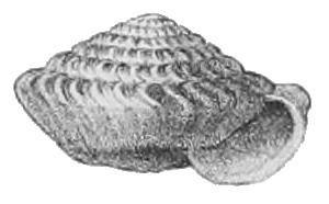 Careoradula perelegans