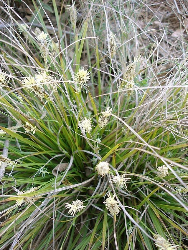 Carex Carex Wikipedia
