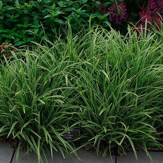 Carex Carex Fine Gardening