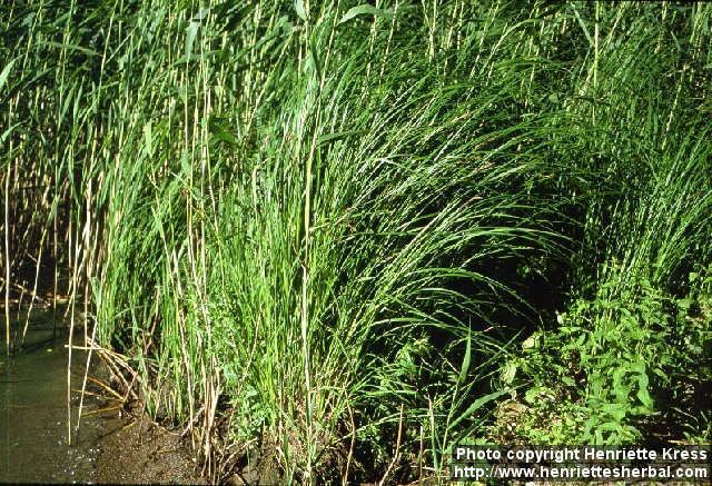 Carex acuta Photo Carex acuta 0 Henriette39s Herbal Homepage