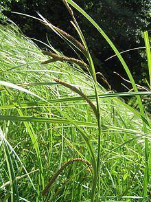 Carex acuta httpsuploadwikimediaorgwikipediacommonsthu