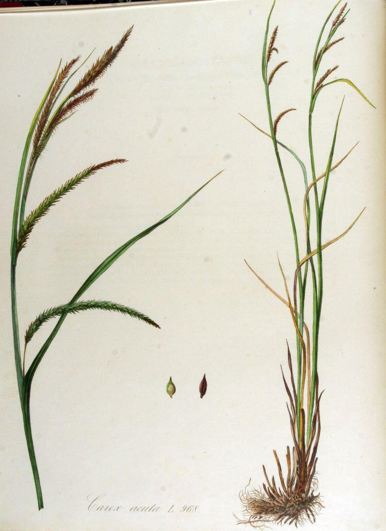 Carex acuta FileCarex acuta Flora Batava Volume v13jpg Wikimedia Commons